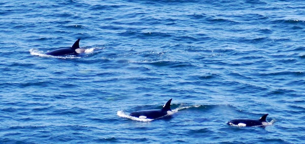Female killer whales as seen from the Yurt