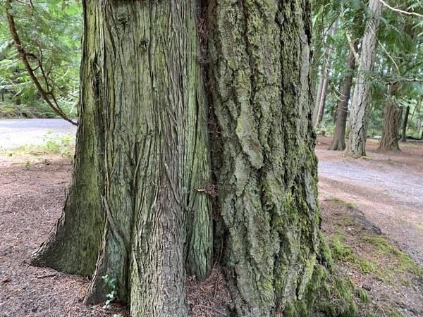 western red cedar (left) Douglas fir (right)
